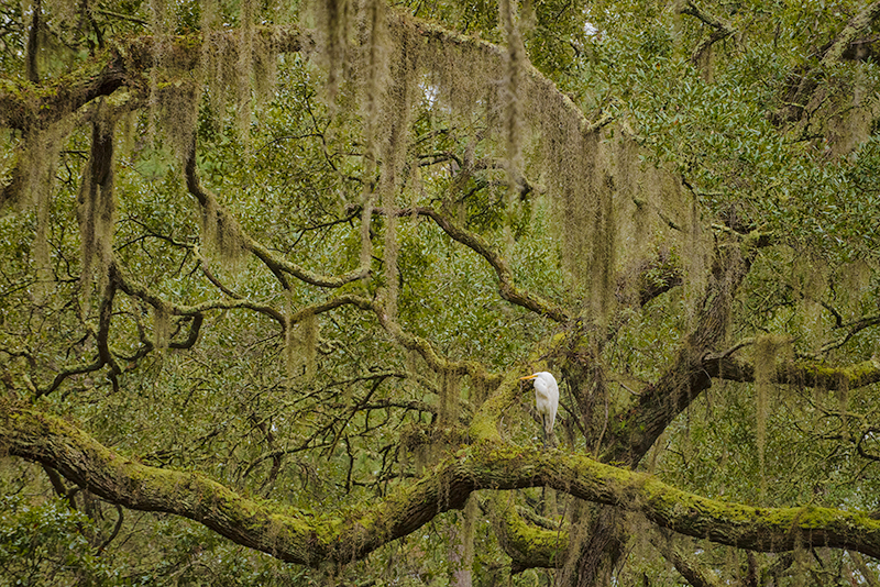 Egret and Live Oak