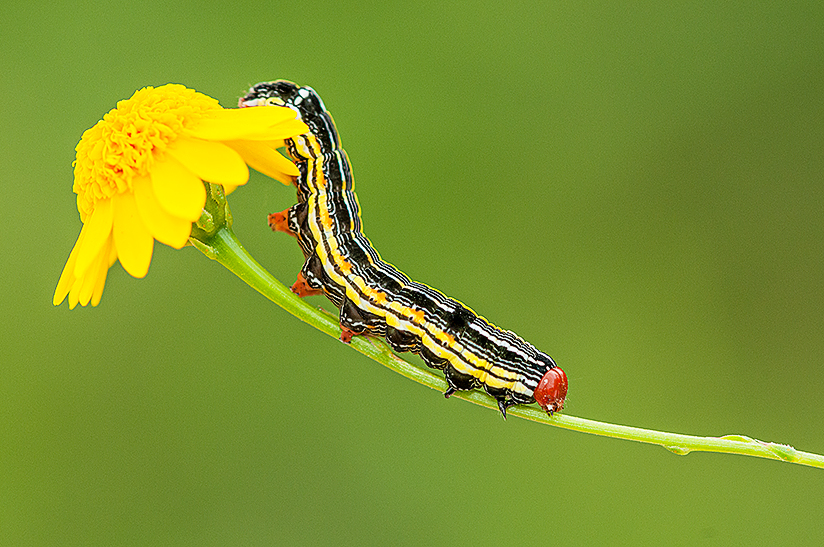 Caterpillar walking on wildflower