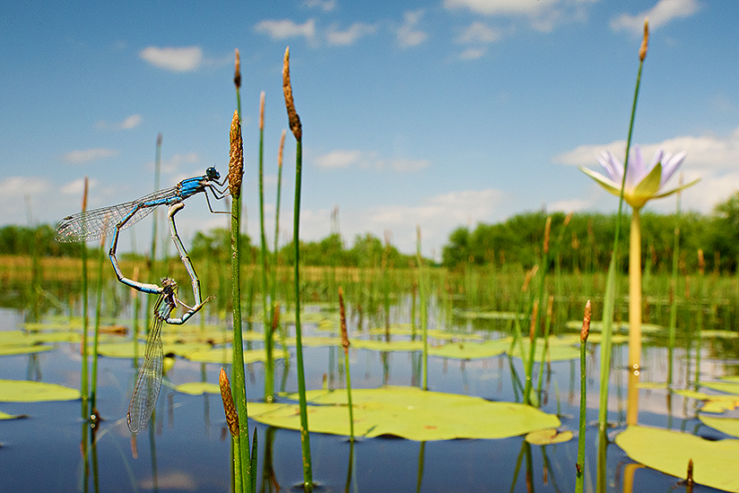 Mating Damselflies (Familiar Bluet) at pond