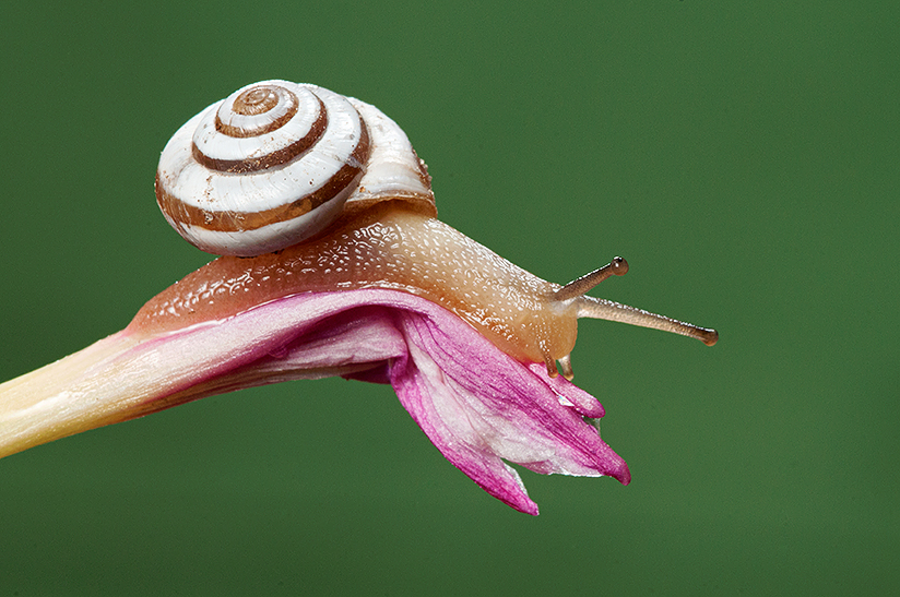 Milk Snail on Rain Lily