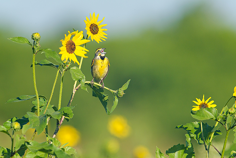 Dickcissel in Sunflowers