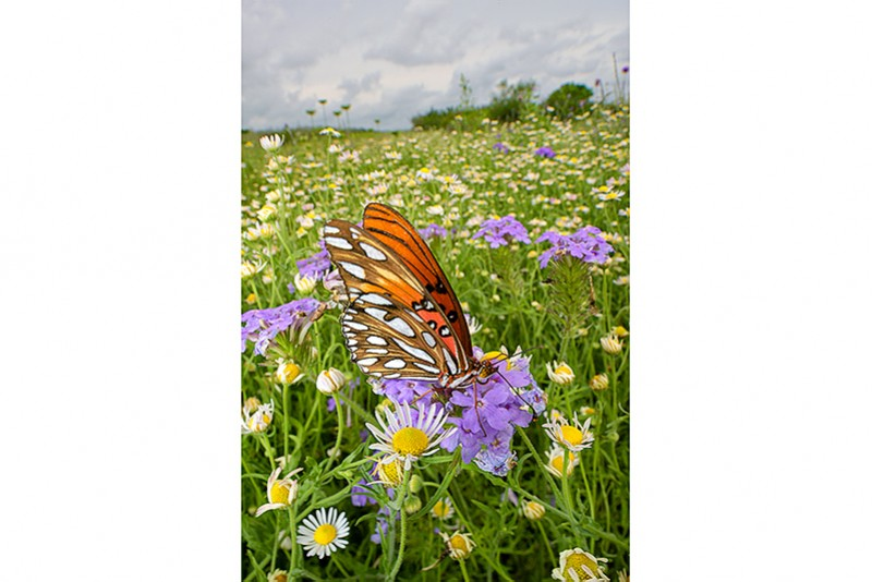 Fritillary in Wildflowers