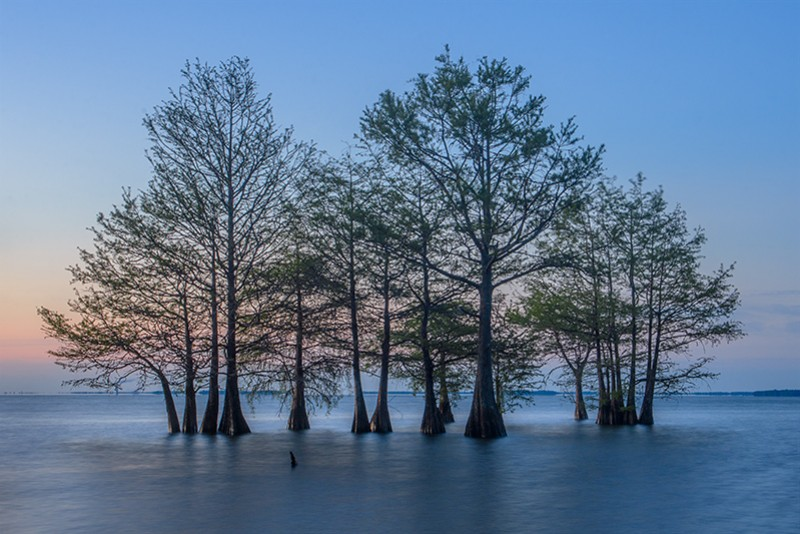 Bald Cypresses in Lake Marion